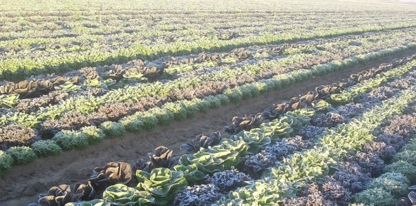 Cold Weathers Affect Produce